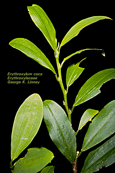Erythroxylum coca rooted plant