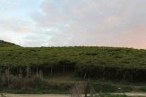 Vines stretching away from the farmhouse, Agriturismo Tarantola. Photo: CanadianKate