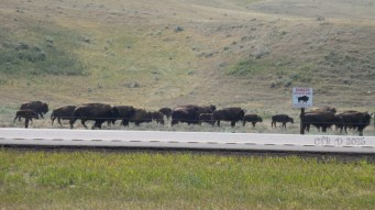 herds of buffalo