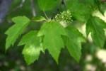 Amur maple: Image Source; http://goo.gl/7ieLtq