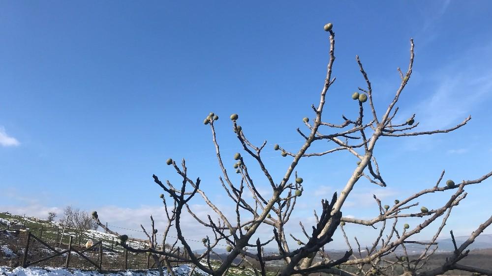 İncir ağacı Ocak ayında meyve verdi
