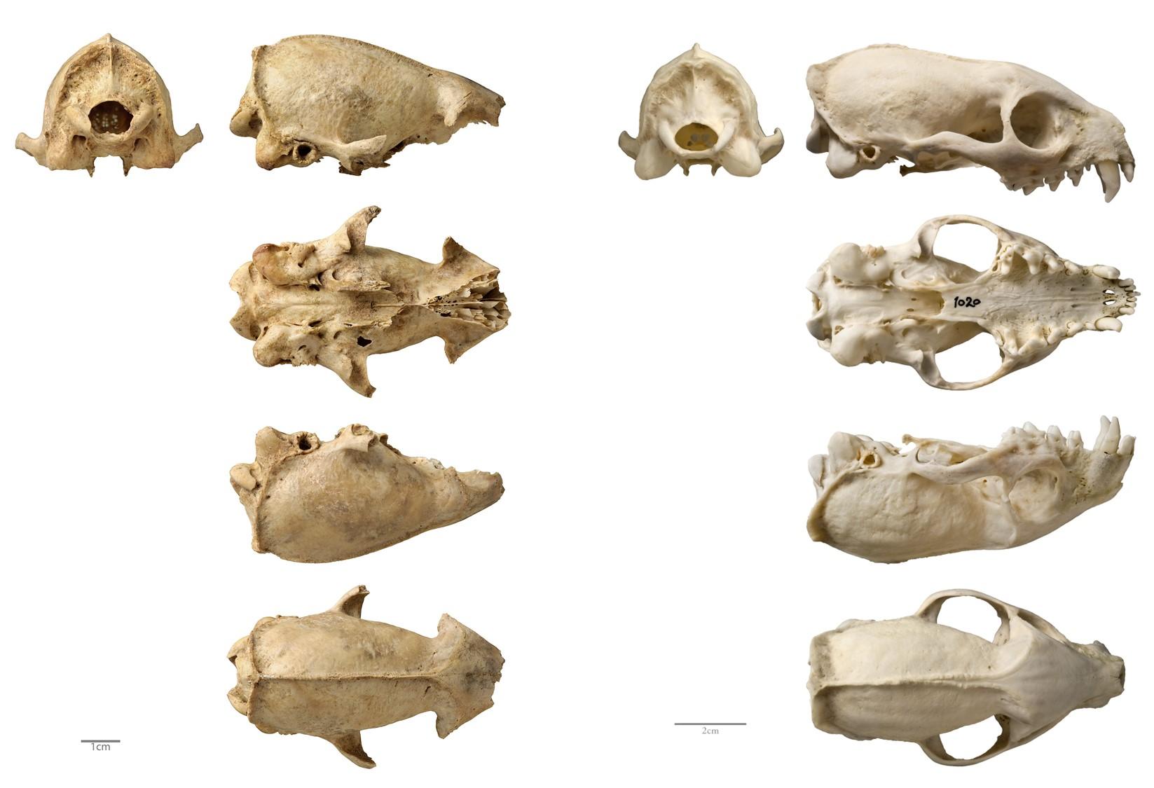 Restos de cráneos de meloncillo procedentes de un contexto ritual de Augusta Emerita