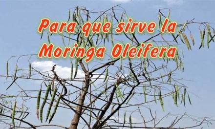 Para que sirve la Moringa Oleifera, Beneficios de la Moringa Sistema Inmunologico, Colesterol, Tos