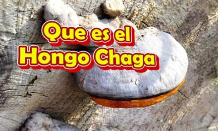 Que es el Hongo Chaga, Beneficios y Propiedades