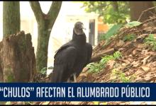 Photo of Aves carroñeras están afectando las luminarias del alumbrado público.
