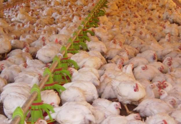 Criação de frangos em granja
