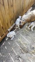 Middleton Stableyards Lambs