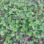 Centella asiatica,Brahmi Leaves,