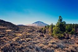 La sequía y la presencia de herbívoros amenazan a la retama del Teide