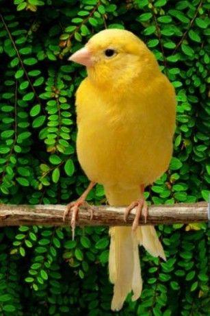 canary-perch