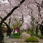 呑川緑道の桜、スマホを落とした話