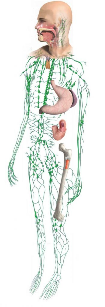 The lymphatic subsystem is a major part of the auto-immune system. It is a series of vessels throughout the body that drain fluid from tissues. Parasites are picked up in the lymphatic fluid and trapped inside lymph nodes, where they can be neutralized by white blood cells.