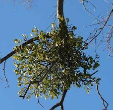 Mistletoe (Iscador) for Cancer