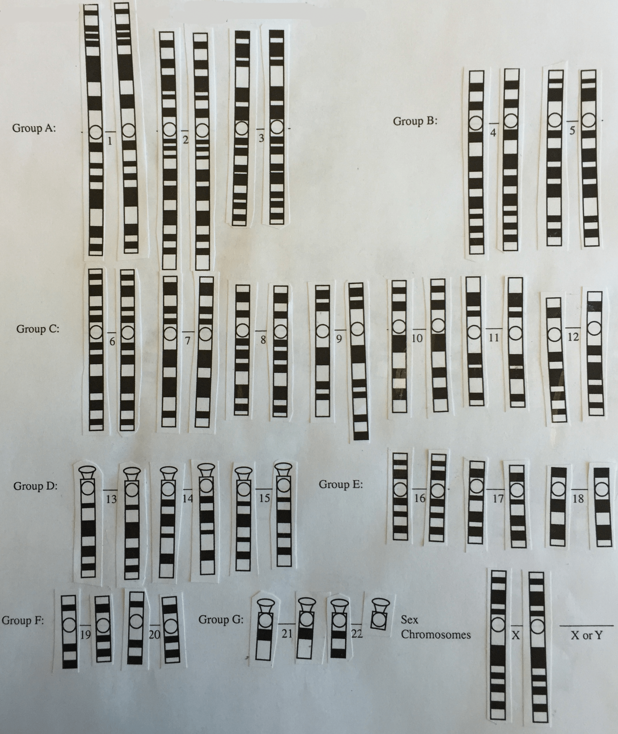 Karyotype Lab Worksheet