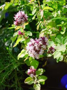 Origan fleuri