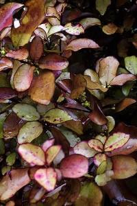 Pseudowintera colorata, qui permet de produire l'Horopeito