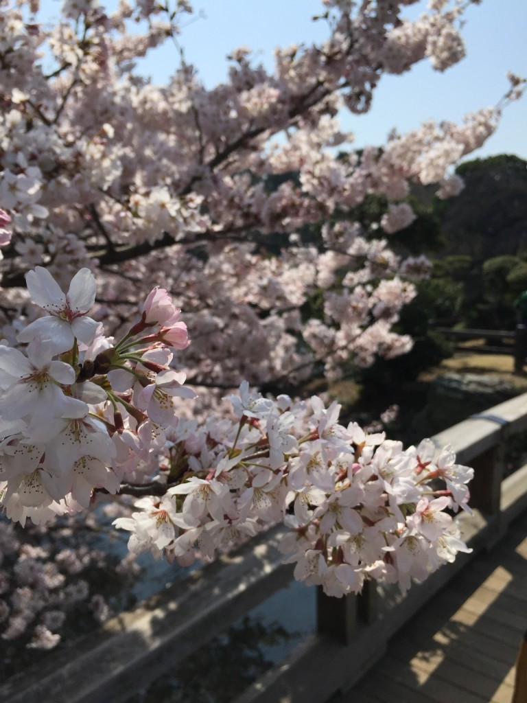 Travel to Tokyo during Cherry Blossoms under budget