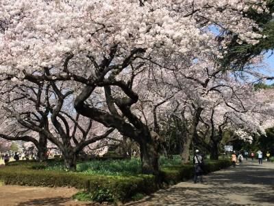 Travel to Tokyo Cherry Blossom Budget 4