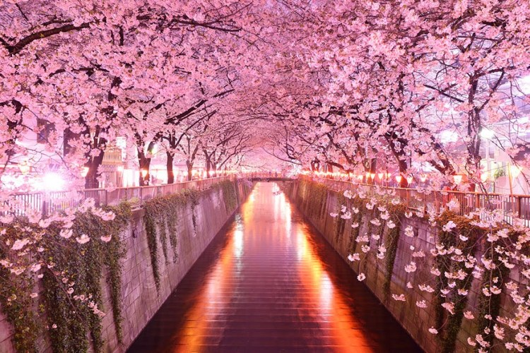 cherry blossoms spots in japan 6