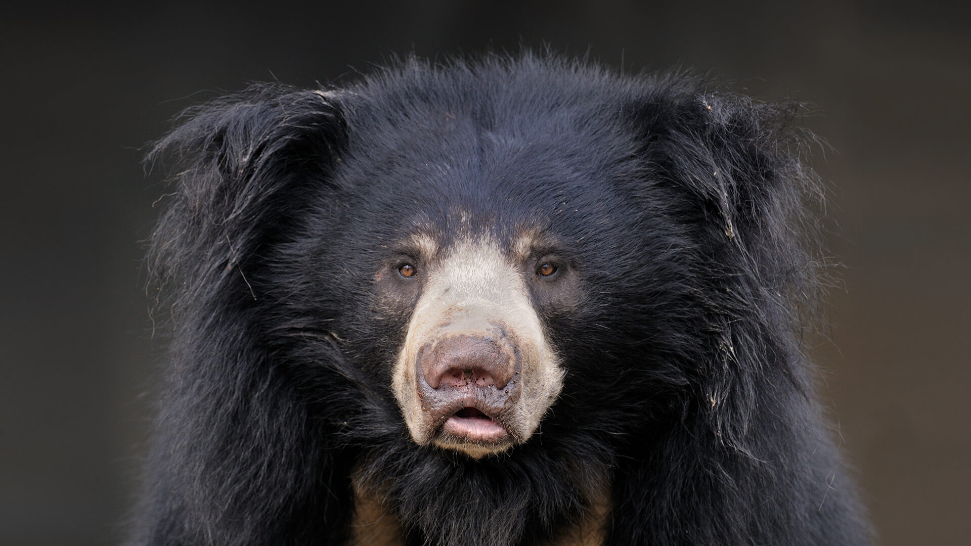 SLOTH BEARS – THE  BALLUS IN THE JUNGLE