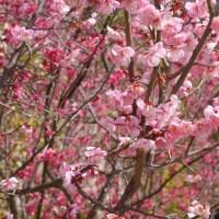 岡本梅林公園のピンク色の梅
