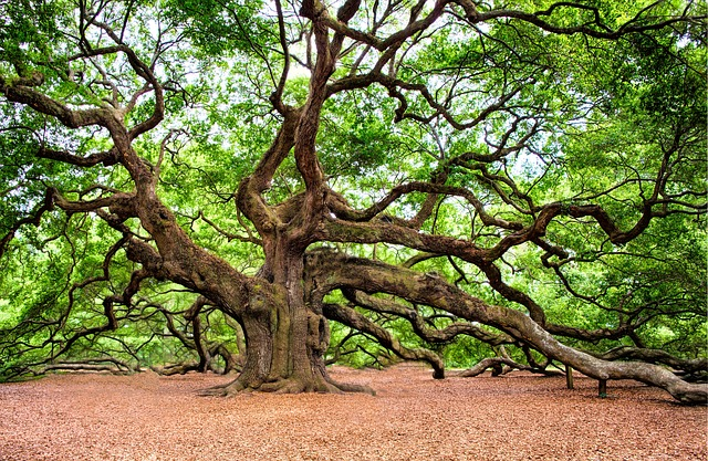 Oak Tree – Haiku