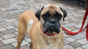 Dillon Bull Mastiff Battersea