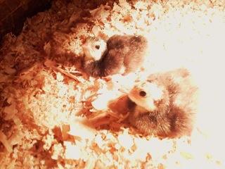 20120121_cane_creek_farm_turkey_hatchling_1_day_old