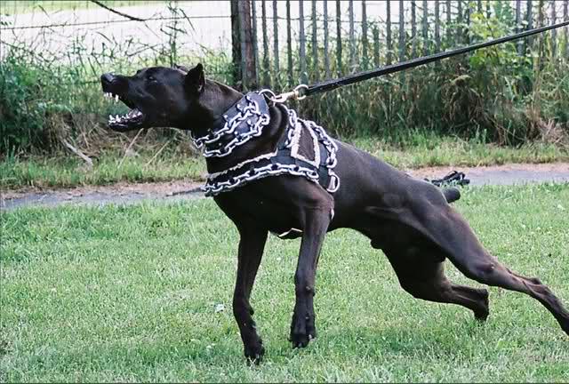cane pantera