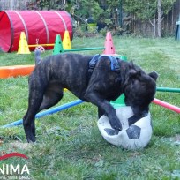 Canima - Narko - Staffordshire Bull Terrier