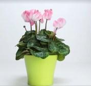 Solan çiçekleri canlandırmak için doğal gübre yapımı (10)