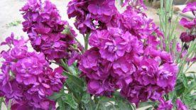 Şebboy Çiçeği (15)