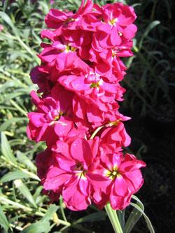 Şebboy Çiçeği (9)