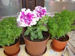 saksıda çiçek yetiştirme-2