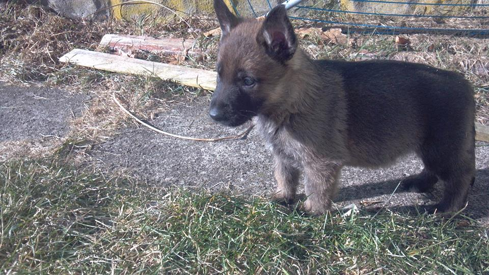 German Shepard Puppies For Sale In Holbrook Ma Canine College