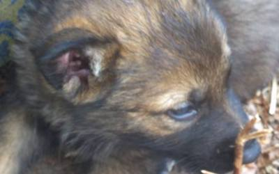 German Shepard Puppies For Sale in MA