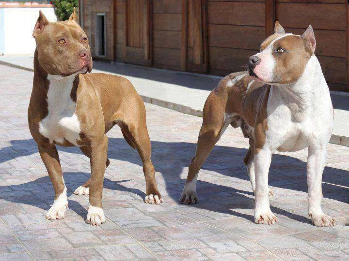 American Pit Bull Terriers Do Pitbulls Get Along With Small Dogs