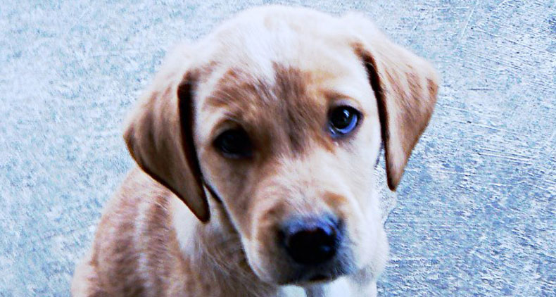 Trained-Labrador-Stan