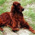 irish setter health issues