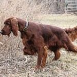 Irish Setter Bred for Red