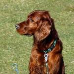 irish setter facts