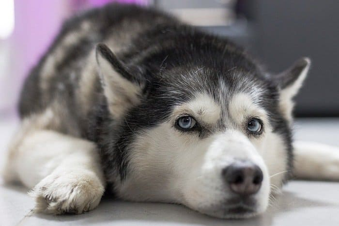 best large dogs for apartments 3