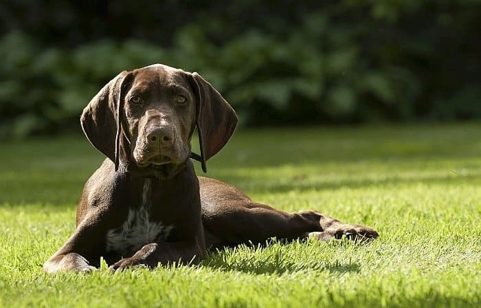 best large dogs for apartments 5