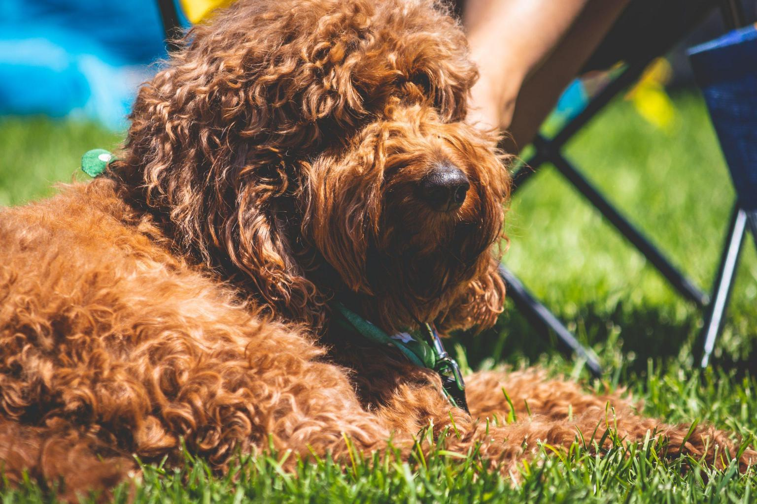 15 Curly Haired Dog Breeds
