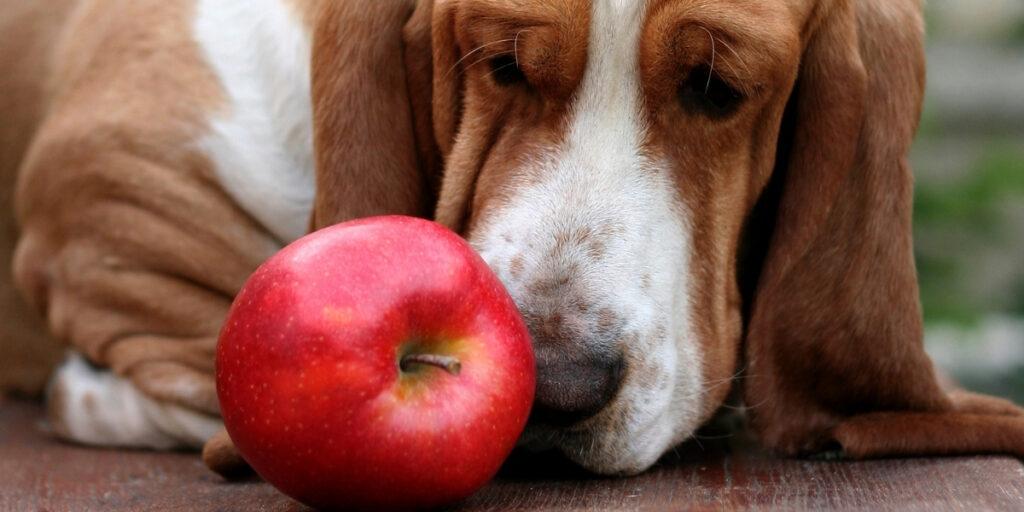 dog eating apple