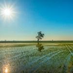 Delta de los campos de arroz