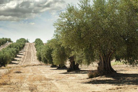 Visite des oliviers