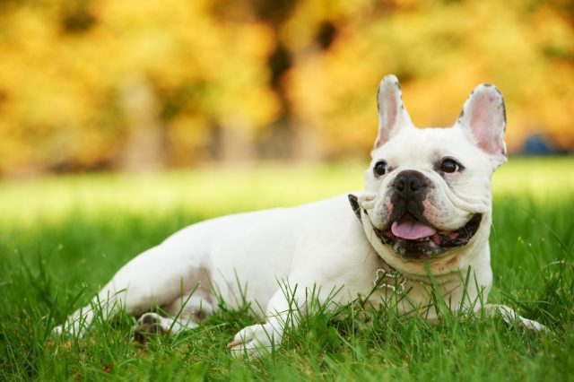 french bulldog health issues & problems | canna-pet®