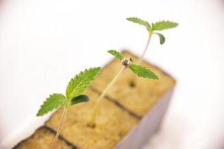 canna wiki.de Cannabis Sämling in Steinwollblock - Keimung von Samen
