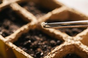 canna wiki.de Einpflanzen eines Cannabissamen in ein Pflanztray mit Hilfe einer Pinzette - Keimung von Samen
